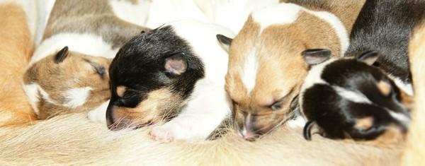 Иммунная система новорождённых щенков