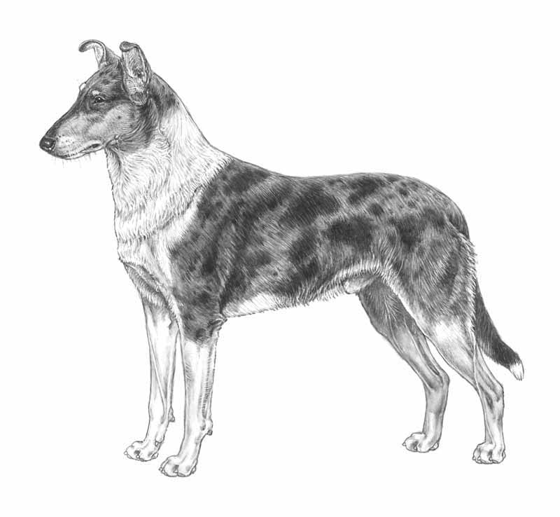 smooth collie стандарт FCI