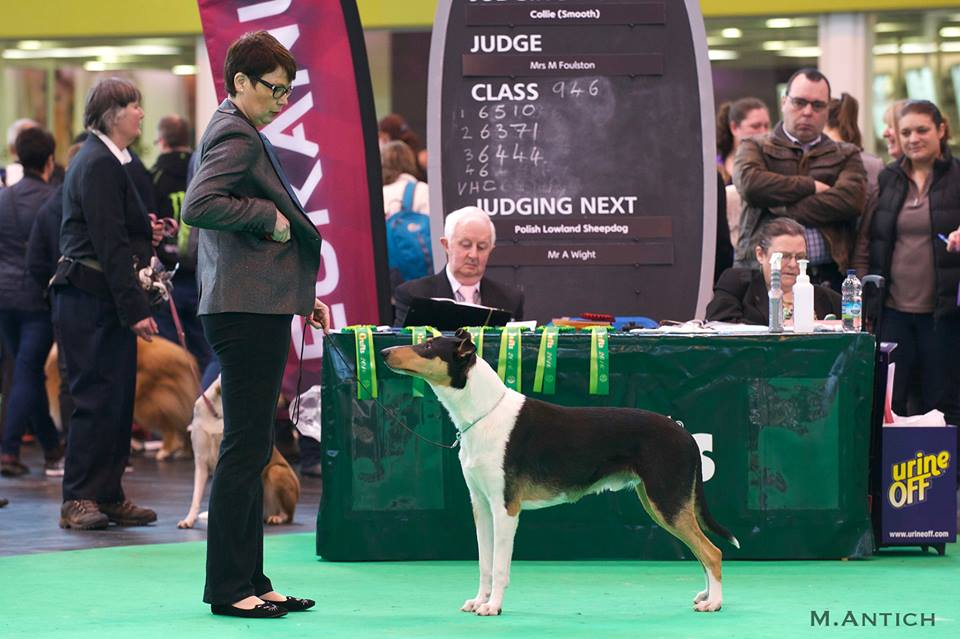 Clingstone's At The Top на Crufts-2016